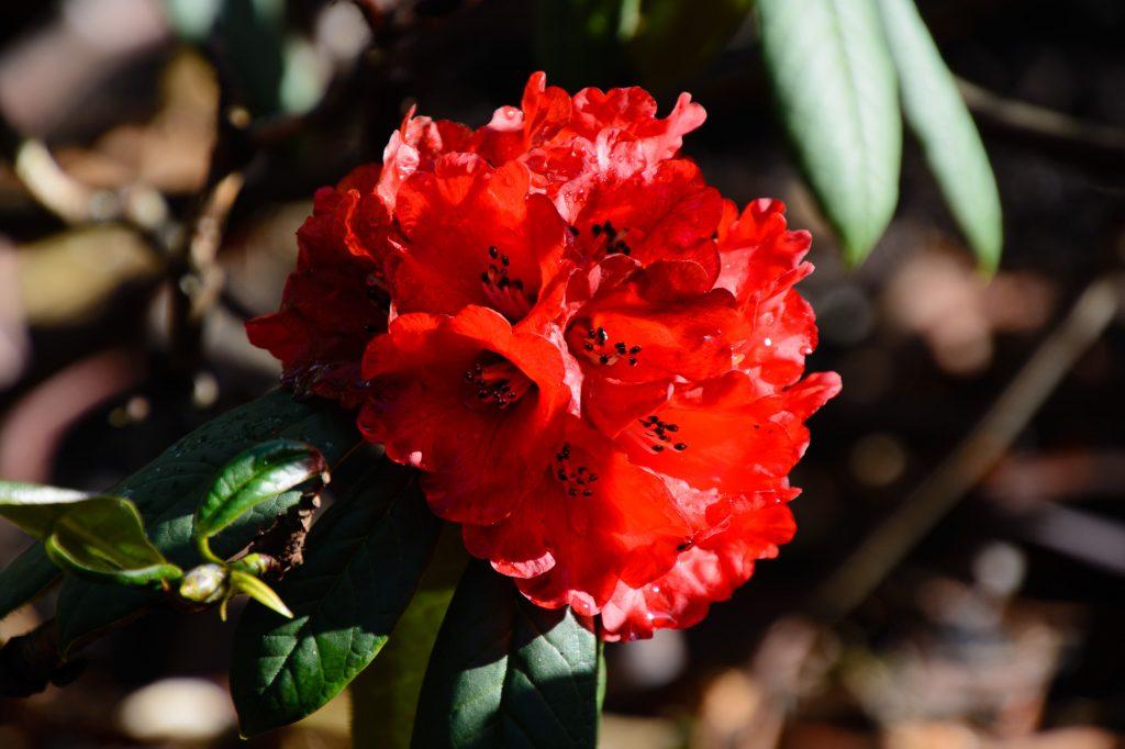 Rhododendron Royal Botanic Garden Edinburgh